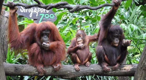 Animal Stars from Around the World at the Singapore Zoo